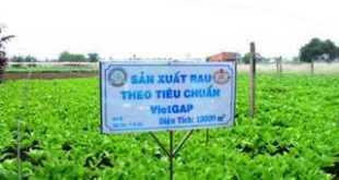 Sản xuất rau VietGap