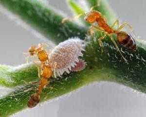 Kiến vàng - loài thiên địch rất có lợi cho cây trồng