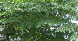 cây núc nác