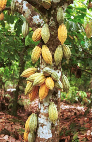 cây cacao