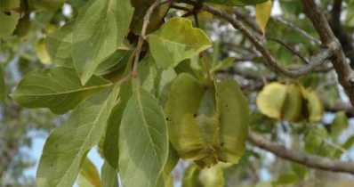 cây trâm bầu