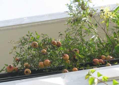 Trồng cây ăn trái trên sân thượng là một cách tốt để hạ nhiệt trên sân thượng