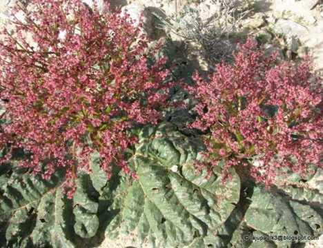 Hoa cây Đại Hoàng