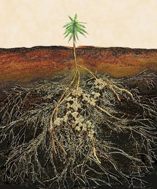 Nấm mycorrhizal, loài nấm sống cộng sinh dưới rễ cây