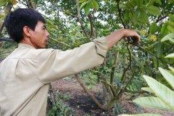Tỉa cành cây ăn trái- Ảnh minh họa