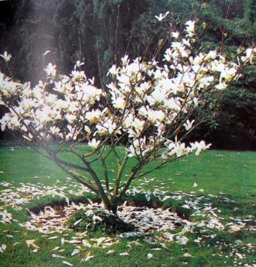 Cánh hoa rơi thành hình tròn quanh cây mộc lan này phản chiếu lại hình dạng tròn của cây