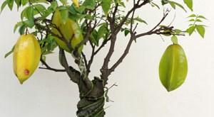 cây khế trồng trong chậu