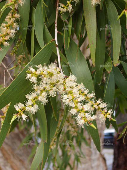Tràm Úc - Melaleuca leucadendra