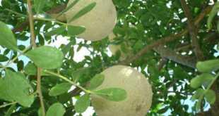 Trái cây quách