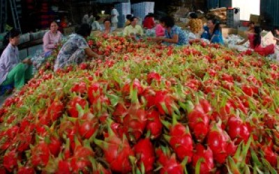 Trong kim ngạch xuất khẩu, thanh long là loại trái cây có tỷ lệ tăng trưởng cao nhất