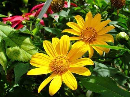 Hoa dã quỳ thuộc loài cúc, bông to và rực rỡ như hướng dương. Ảnh: dulichdalat.
