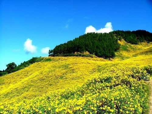 Hoa dã quỳ rực nở trên triền đồi như thảm vàng ngút mắt. Ảnh: dulichdalat.