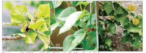 Lá vông nem (1) phối hợp với lá dâu (2), lạc tiên (3) chữa mất ngủ rất tốt. (Ảnh minh họa)