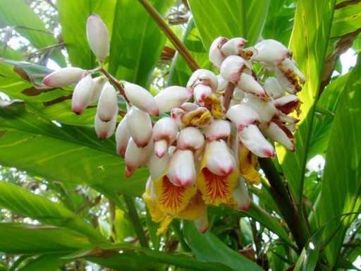 Hoa cây Getto - Ảnh Intrenet