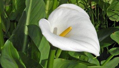 lili arum