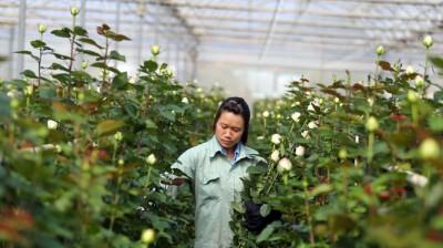 Thu hoạch hoa hồng trồng trên giá thể xơ dừa - Ảnh: Mai Vinh