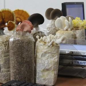 Những bịch nấm linh chi, nấm bào ngư hồng, xám, nấm hoàng kim có thể trở thành bình hoa trang trí cho bàn làm việc - Ảnh: K.V.