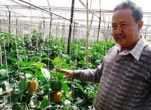 Sản xuất ớt ngọt trên giá thể tăng năng suất hơn 35% so với sản xuất trên đất