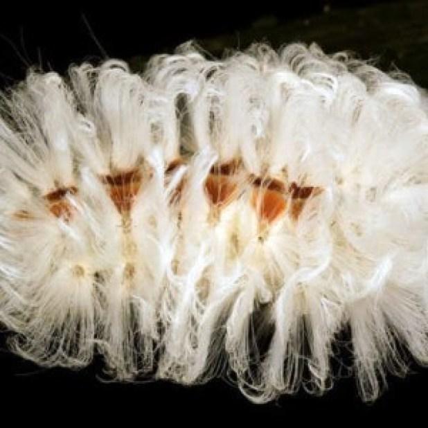 Con sâu bướm này có hình thù bắt mắt với những búi lông dài màu trắng và nhiều lông gai. Tuy nhiên, đây lại là đặc điểm giúp chúng ngụy trang chất độc