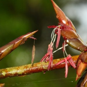 Hoa Tre lồ ô, danh pháp Babusa procera, là một loài thuộc họ Hòa thảo. Chụp tại khu bảo tồn thiên nhiên Vĩnh Cửu – Đồng Nai - Ảnh Hào Quang