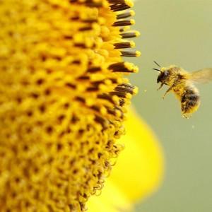 Ong hút mật hoa - khởi nguồn của những hạt phấn hoa