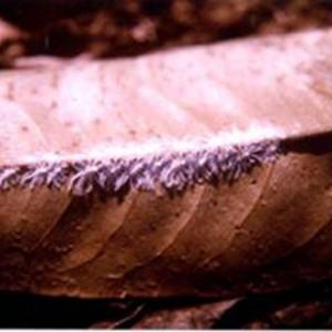 Rầy nhảy gây hại trên cây sầu riêng. Ảnh: Tác giả