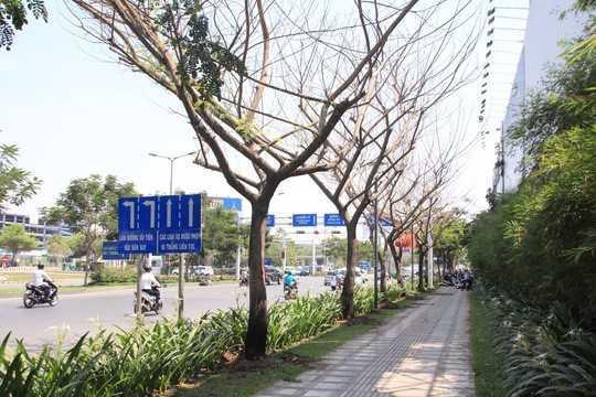 6 cây keo tây trên đường Trường Sơn, quận Tân Bình, TP HCM đang xanh tốt bỗng trụi lá rồi chết dần nghi bị đầu độc bằng hóa chất .
