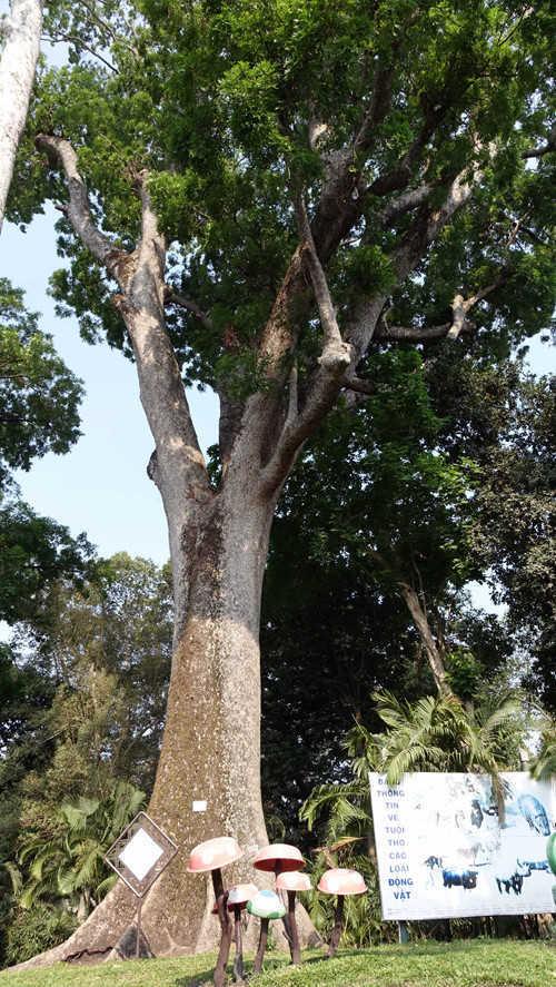 Những cây được trồng ở Thảo cầm viên để nghiên cứu, nhân giống để trồng ở thành phố. Ảnh cây xà cừ ở Thảo cầm viên được xem là lớn nhất Việt Nam, có tuổi trên 150 năm - Ảnh: Độc Lập