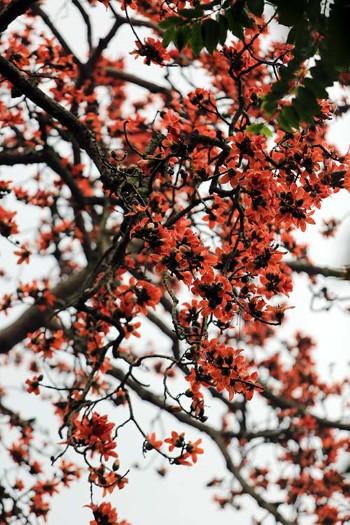 Hoa mọc san sát, tán cây như một chiếc ô khổng lồ.