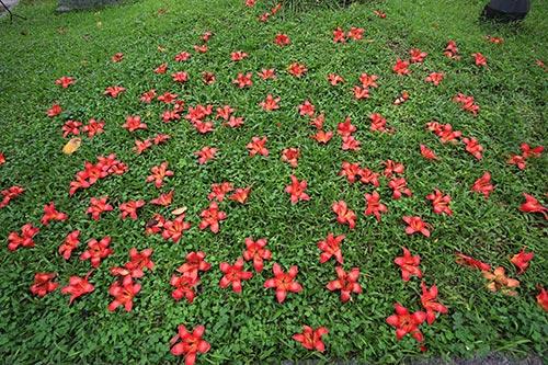 Hoa rụng phủ kín trên thảm cỏ xanh.