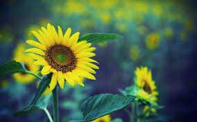 Hoa hướng dương: Tượng trưng cho sự đam mê, tình yêu thủy chung. Tăng cường năng lượng dương cho nhà.