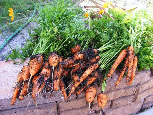 Cà rốt bạn tự trồng sẽ luôn sạch và an toàn
