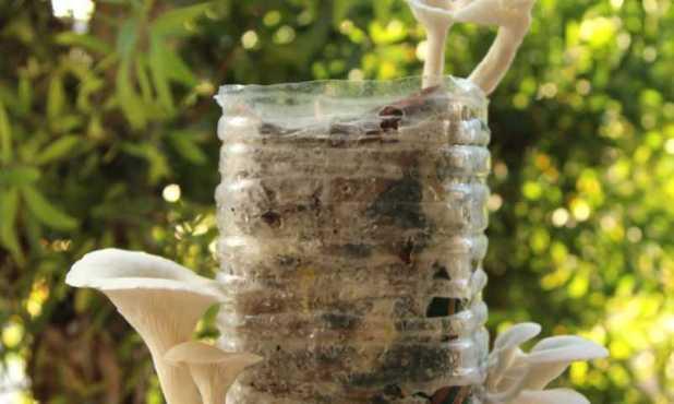 Cách trồng nấm sạch, an toàn từ bã cà phê - cach trong nam8