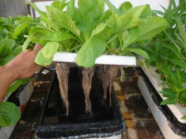 Hình ảnh: Rau cải được trồng theo kỹ thuật thủy canh
