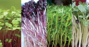Một số loại rau mầm ngon có cách trồng rau mầm đúng