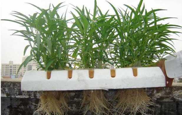 Rau muống trồng bằng phương pháp thủy canh