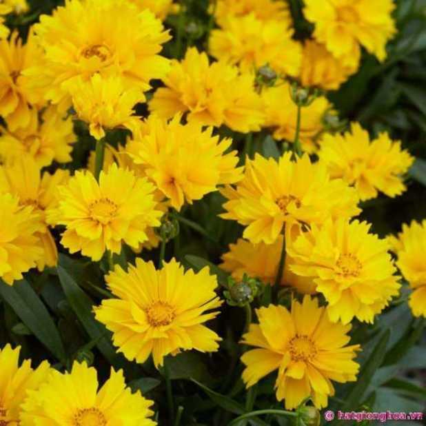 Hoa phòng phong vàng