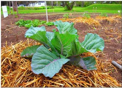 Tạo lớp phủ bên dưới giúp ngăn cỏ dại và giữ ẩm cho cây.