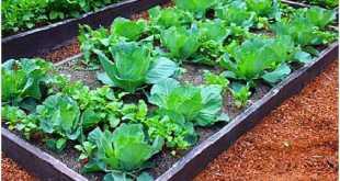 Trồng xen giữa bắp cải và những loại cây khác mà không sợ bị ảnh hưởng.