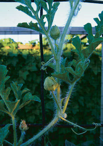Phân bón ảnh hưởng rất lớn đến phẩm chất trái dưa.