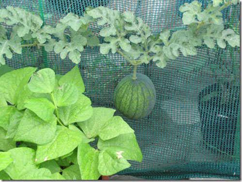 Chỉ trong vòng nửa tháng, cây dưa hấu đã đậu trái và phát triển.
