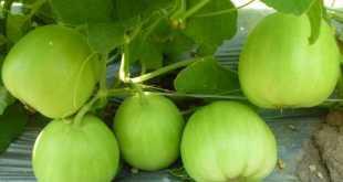 Từ lúc gieo hạt tới lúc thu hoạch khoảng 90 - 100 ngày.