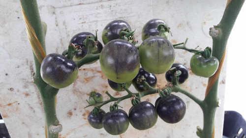 Cà chua đen bóng mẩy từng quả