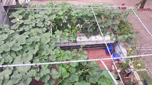 Khoảnh sân thượng và ban công tầng 2 rộng chừng 40m2 nhưng anh Vỹ trồng đủ các loại rau như...