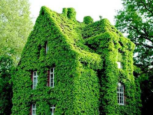 Là loài cây được trồng nhiều ở các nước phương tây, làm tôn thêm vẻ cổ kính, uy nghiêm của mọi kiến trúc