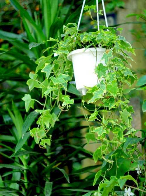 Ngoài chức năng làm đẹp cho không gian, thường xuân còn được coi là một loài cây tốt cho phong thủy