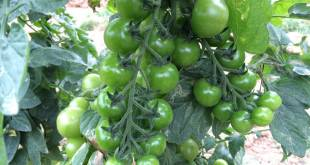 Cây giống cà chua cũng đã xuất đi hết, chỉ còn vườn cà chua lấy quả mới trồng thử nghiệm