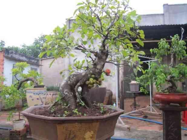Kỹ thuật trồng cây sung bonsai lá nhỏ đẹp cũng rất dễ dàng. Ảnh minh họa