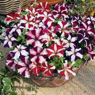 Nếu áp dụng đúng kỹ thuật trồng cây dạ yên thảo có thể ra hoa cả năm. Ảnh minh họa