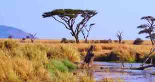 Một vùng đồng cỏ khô hạn ở Tanzania